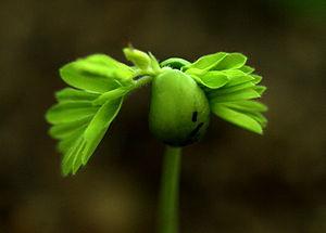 English: An emerging Tamarind tree seedling. T...